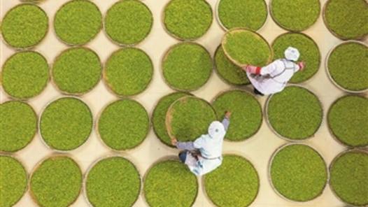 云南茶叶种植不断发展壮大 差异化竞争优势成功打开了海外市场